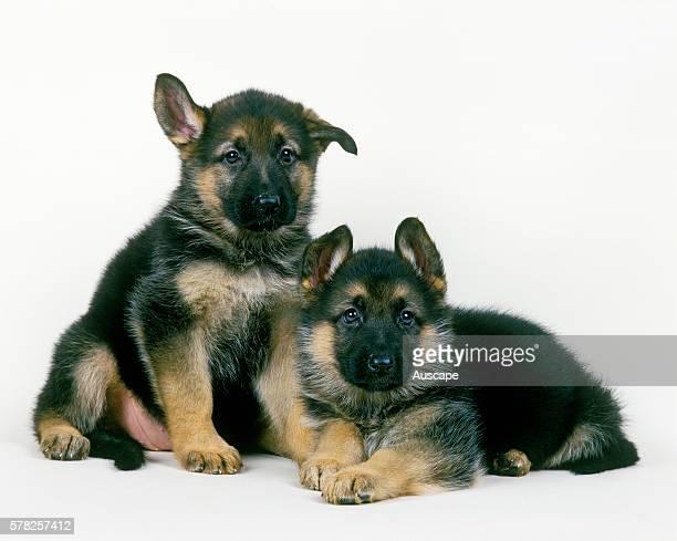 German shepherd Canis familiaris two puppies studio shot