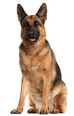 German Shepherd Dog, 4 years old, sitting in front of white background