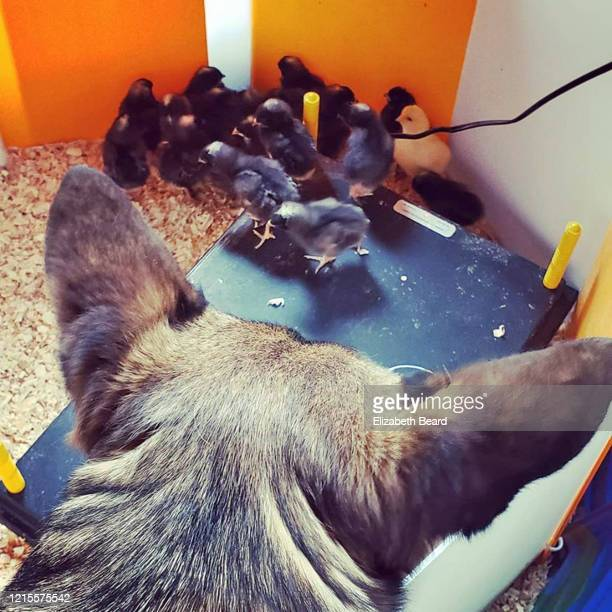german shepherd dog admiring baby chicks in a home brooder - vorbeigehen stock pictures, royalty-free photos & images