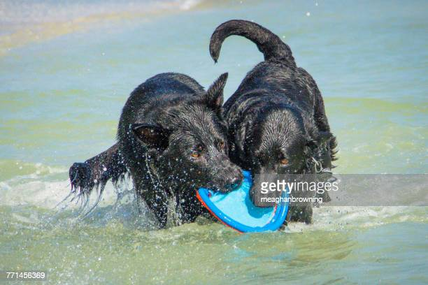 German shepherd dog and labrador dog playing in the sea with a plastic frisbee toy