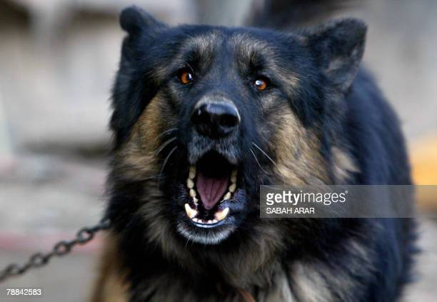 A german shepherd dog barks at strangers at a dog breeding compound in Baghdad's alKadhimiyah district 09 January 2008 Dog trade flourished lately in...