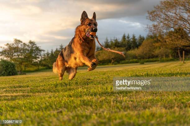 german shepherd dog in action - german shepherd stock pictures, royalty-free photos & images