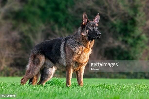 German shepherd dog in garden.