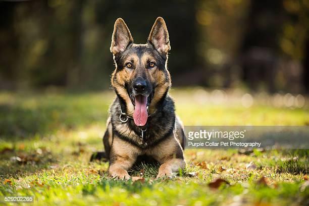 German Shepherd Dog Laying in Grass