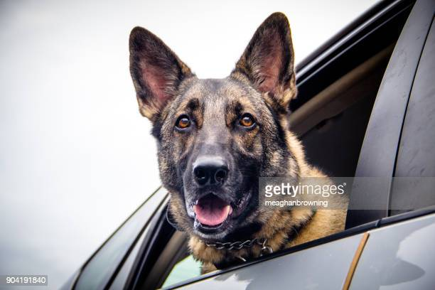 german shepherd dog leaning out of a car window - berger allemand photos et images de collection
