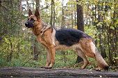 A German shepherd dog on a forest walk