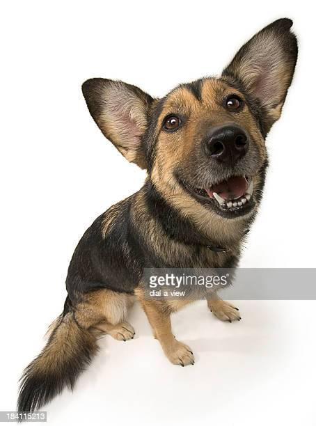 German Shepherd Dog (HI-RES)