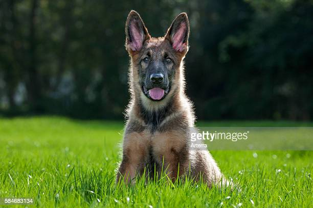 German shepherd dog pup sitting on lawn in garden.