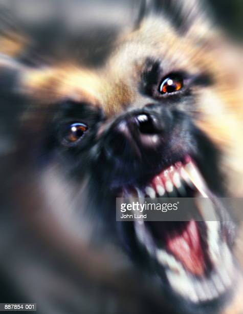 German shepherd dog snarling, close-up (Digital Enhancement)
