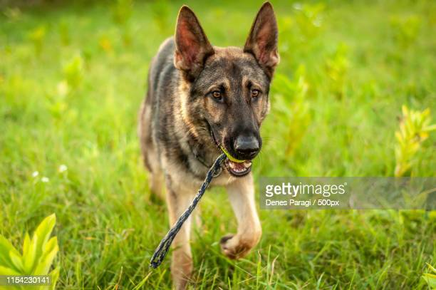 a german shepherd dog standing with a ball on the field - german shepherd teeth photos et images de collection