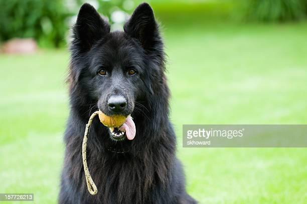 Cão pastor alemão cão com Bola