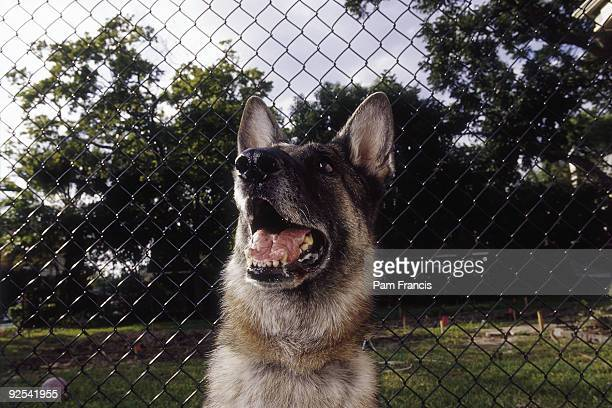 German Shepherd Dog With Opened Mouth