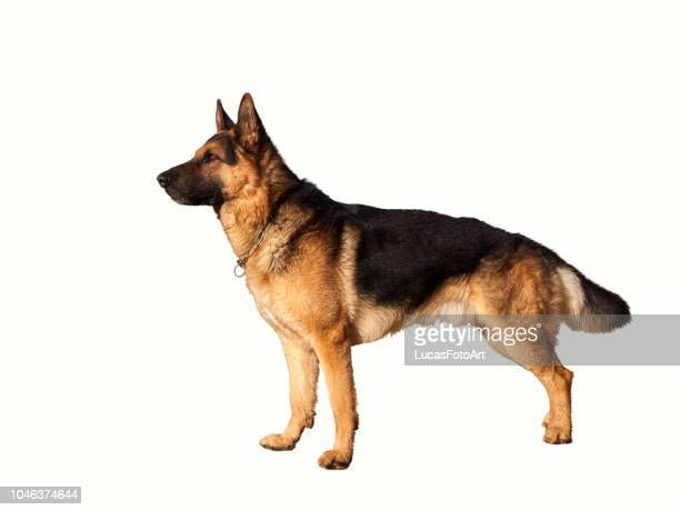 german shepherd dog with white background - berger allemand photos et images de collection