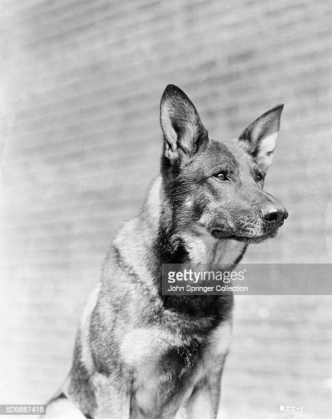 Rin Tin Tin Pictures and Photos   Getty Images