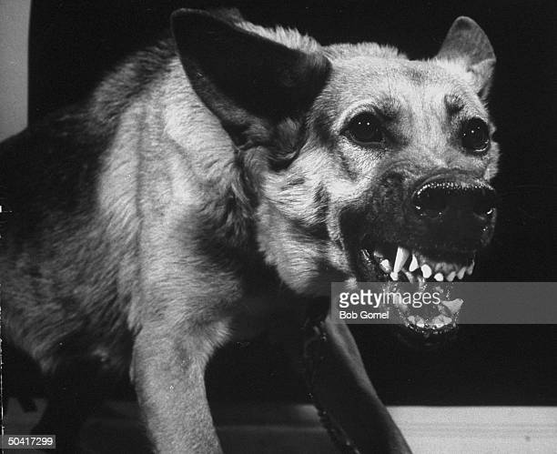 A german shepherd guard dog growling towards the camera with all his teeth exposed