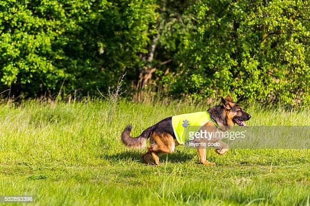 German Shepherd in a safety dog west