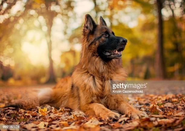 german shepherd in fall - german shepherd stock pictures, royalty-free photos & images