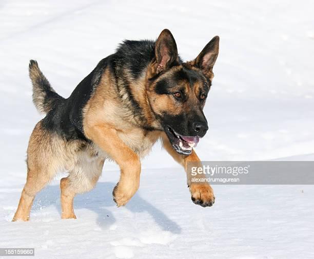 German Shepherd jumping in snow