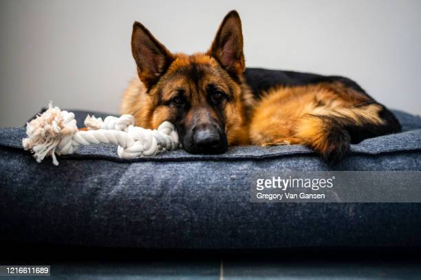 german shepherd laying down - pet bed stock pictures, royalty-free photos & images