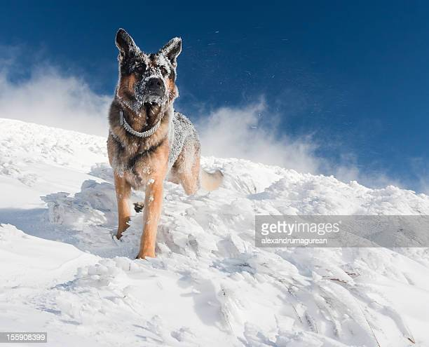 German Shepherd Looking at Landscape