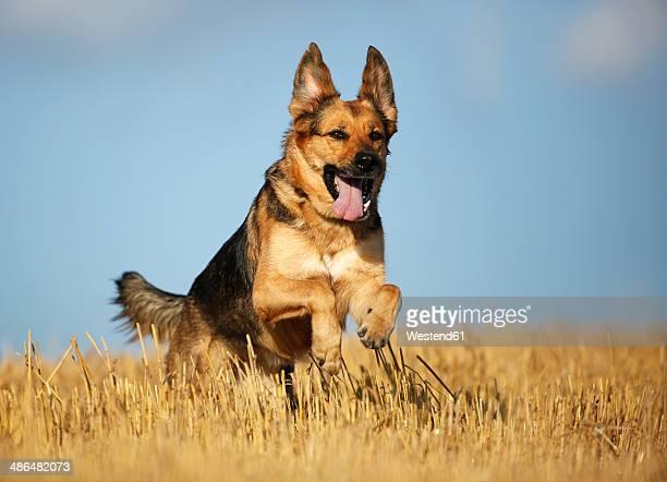German shepherd mongrel running on a stubble field in front of sky