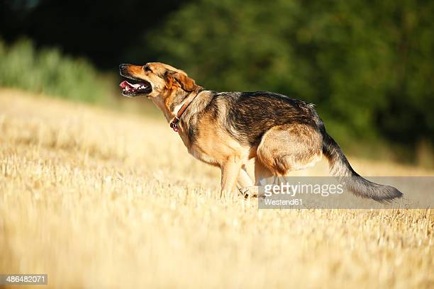german shepherd mongrel running on a stubble field - animal mouth stock pictures, royalty-free photos & images