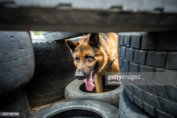 German Shepherd named Boy that just returned from Donetsk after 45 days of service searching weapon and explosives runs through tires during training...
