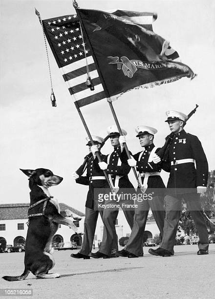 German Shepherd Named Corky Saluting The Passing Of FlagBearers Of The Naval Base In San Diego On February 20 1941