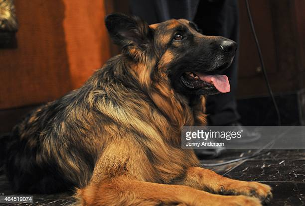 German Shepherd Nunzio attends the American Kennel Club Top Breeds of 2014 reveal at AKC Headquarters on February 26 2015 in New York City