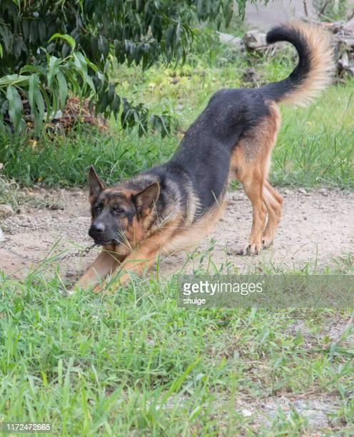 a german shepherd on a farm - pastore tedesco foto e immagini stock