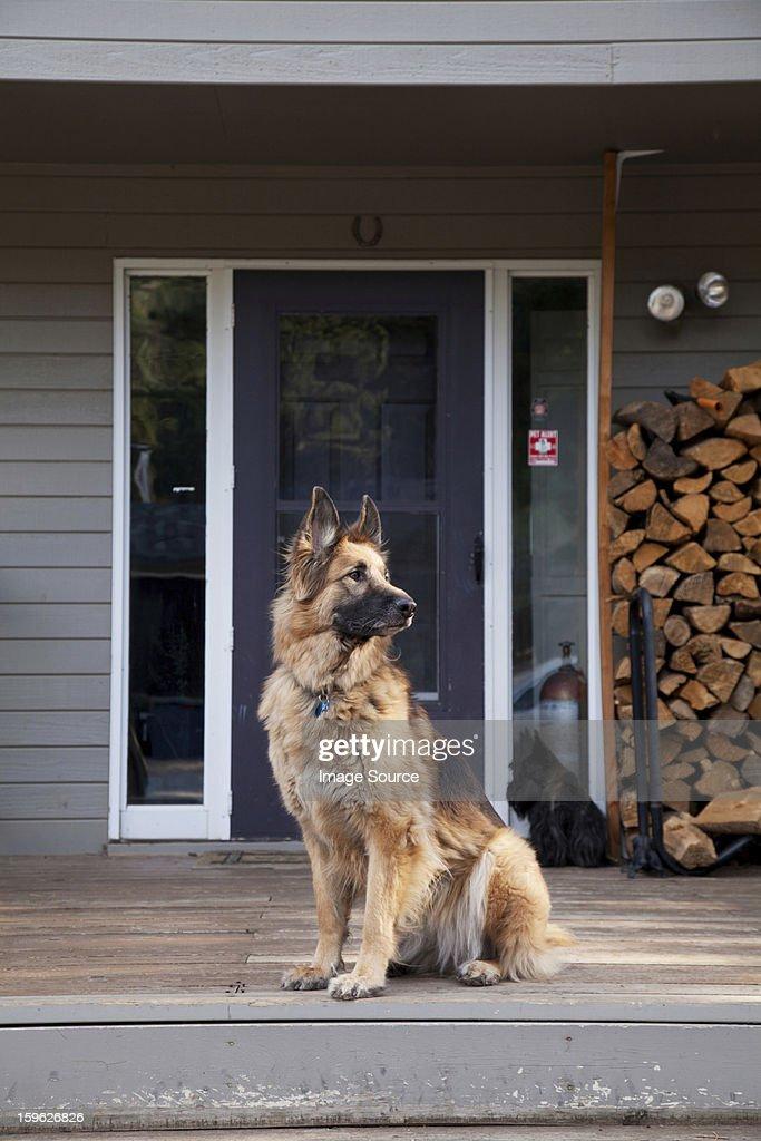 German shepherd on house porch : Stock Photo