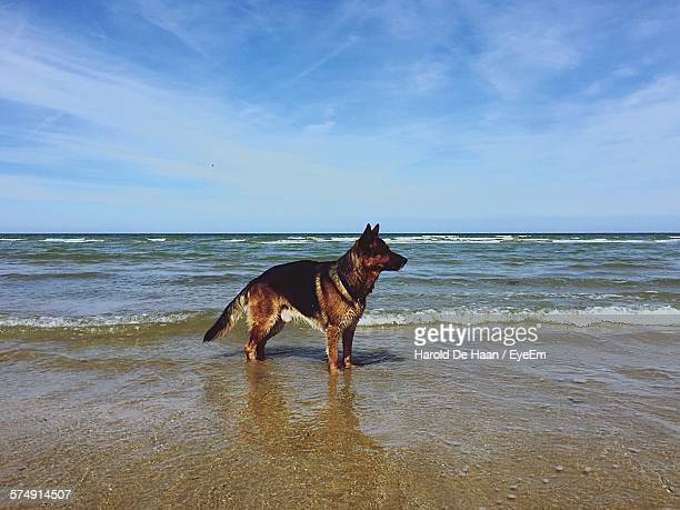 German Shepherd On Shore Against Sea