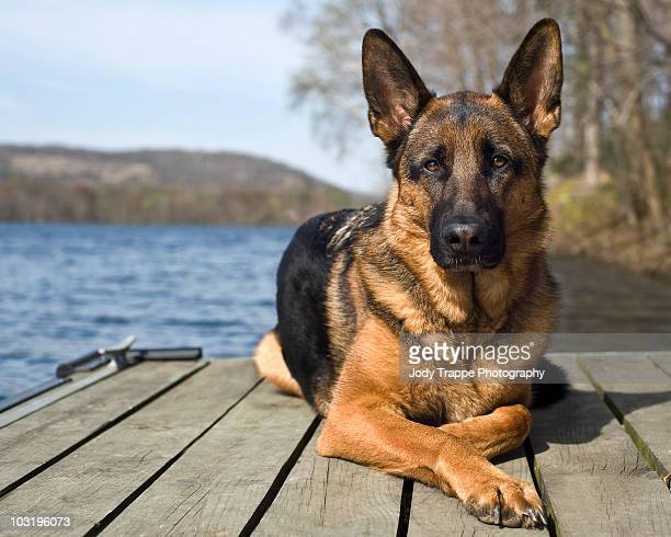 german shepherd - german shepherd stock pictures, royalty-free photos & images