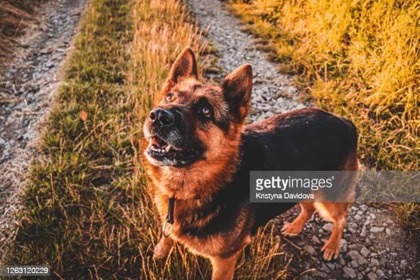 german shepherd - cão pastor alemão - fotografias e filmes do acervo