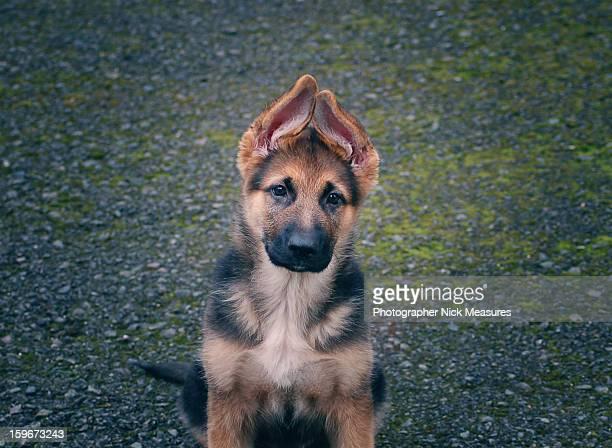 german shepherd - german shepherd stock pictures, royalty-free photos & images
