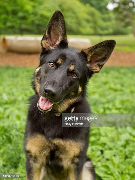 german shepherd - pastore tedesco foto e immagini stock