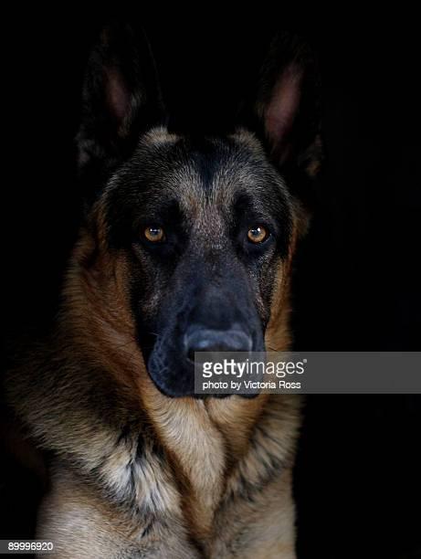 German shepherd ( Logan)