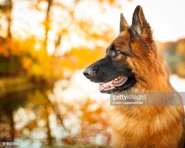 German Shepherd (Canis lupus familiaris)