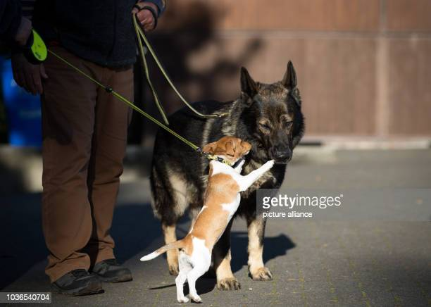 AGerman Shepherd plays with a Jack Russel Terrier at the World Cup for German Shepherds in Meppen Germany 05 October 2016 The 29th World Cup for...