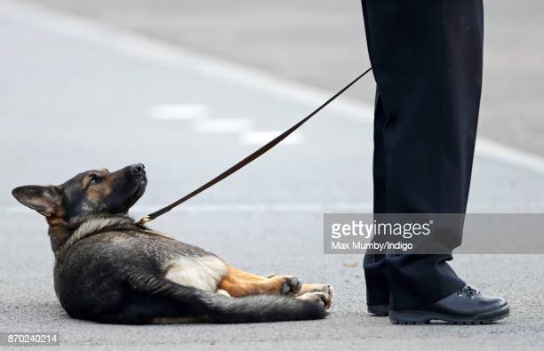 A German Shepherd police dog seen lying down during the Metropolitan Police Service Passing Out Parade for new recruits at the Metropolitan Police...