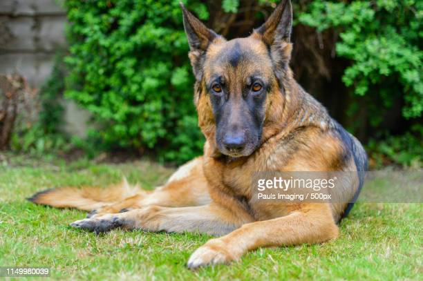 german shepherd portrait - paw stock pictures, royalty-free photos & images