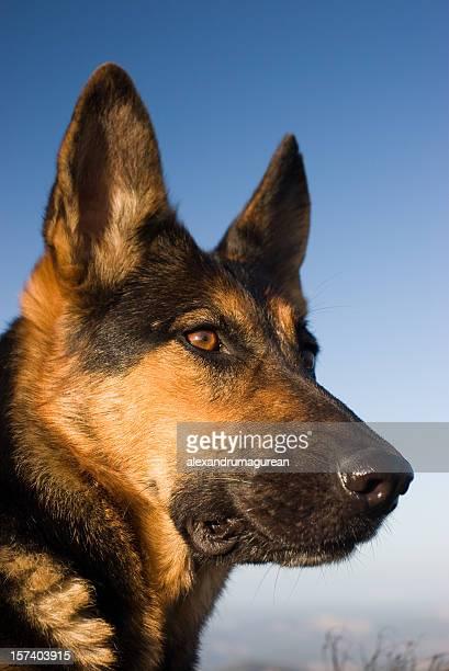 German Shepherd Portret
