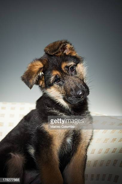 german shepherd puppy dog studio portrait - head cocked stock pictures, royalty-free photos & images