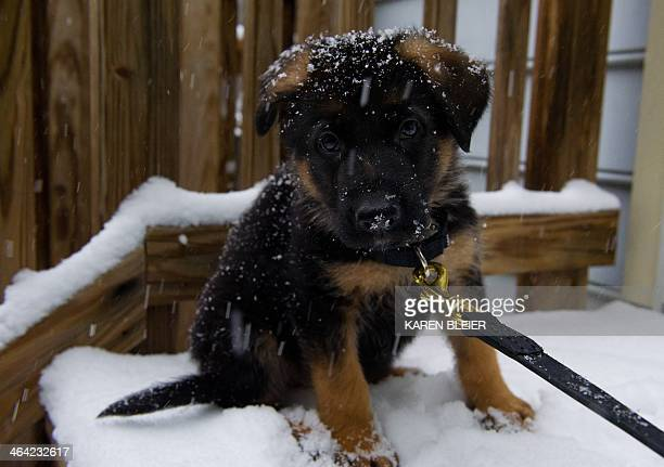 A German Shepherd puppy experiences snow for the first time during a snowfall January 21 2014 in Manassas Virginia The Washington DC area and much of...