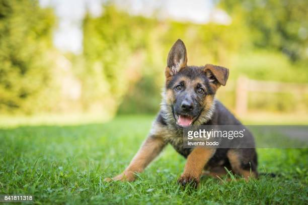 german shepherd puppy in the grass - puppy stock pictures, royalty-free photos & images