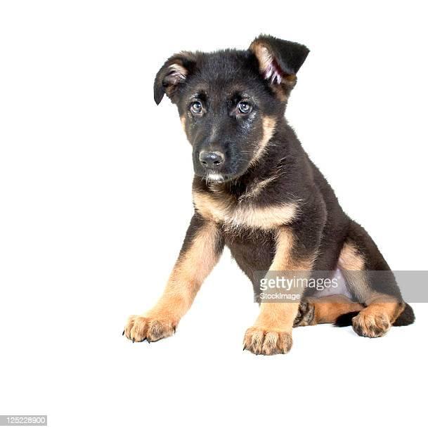 german shepherd puppy - pastore tedesco foto e immagini stock