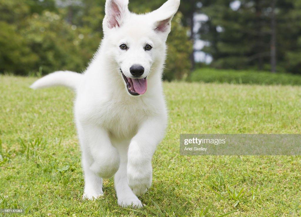 German shepherd puppy running through field : Stock Photo