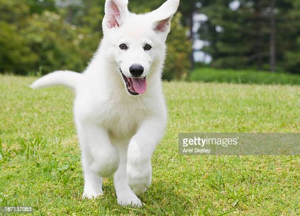 German shepherd puppy running through field
