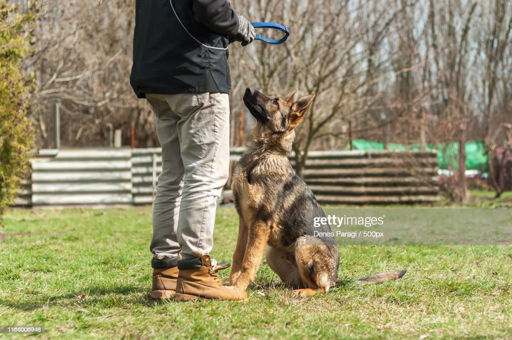 German Shepherd Puppy Training At Spring Foto De Stock Getty Images