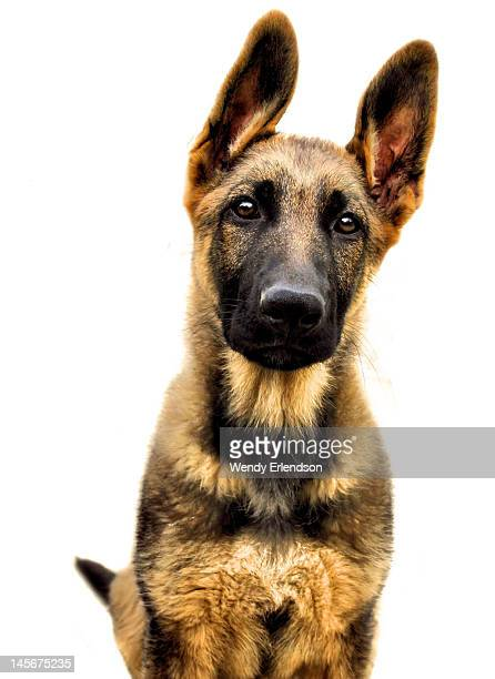 German shepherd purebred pup